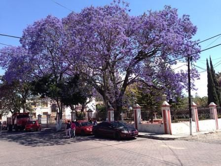 Jacaranda Tree - Drought Tolerant Landscaping in phoenix